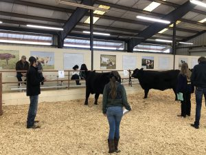 Youth in fair ring with cow for judging purposes.