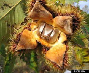 Three chestnuts inside the open but of the American Chestnut tree