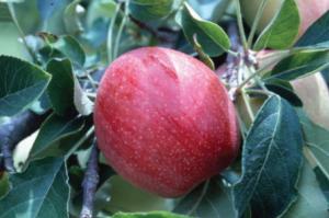 Red apple on tree