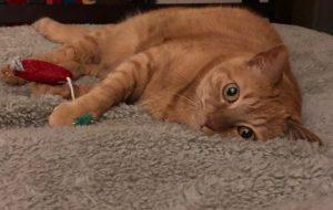 Orange cat with toy