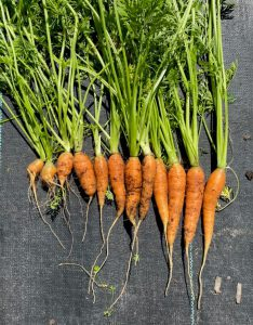 row of orange carrots with dirt and green stems