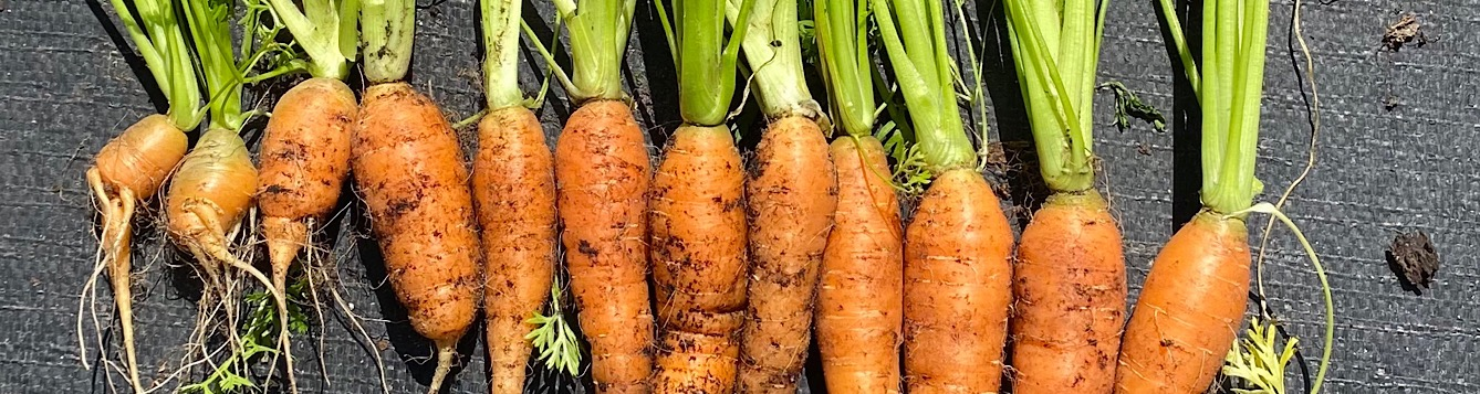 Fresh orange carrots with dirt and green stems