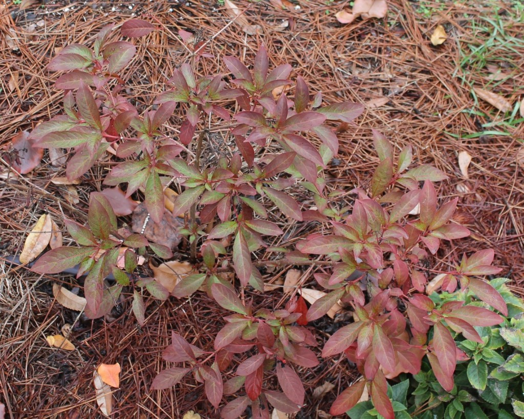 Hamelia patens. Dormant now but wait until February to prune back. Image Credit: Matthew Orwat