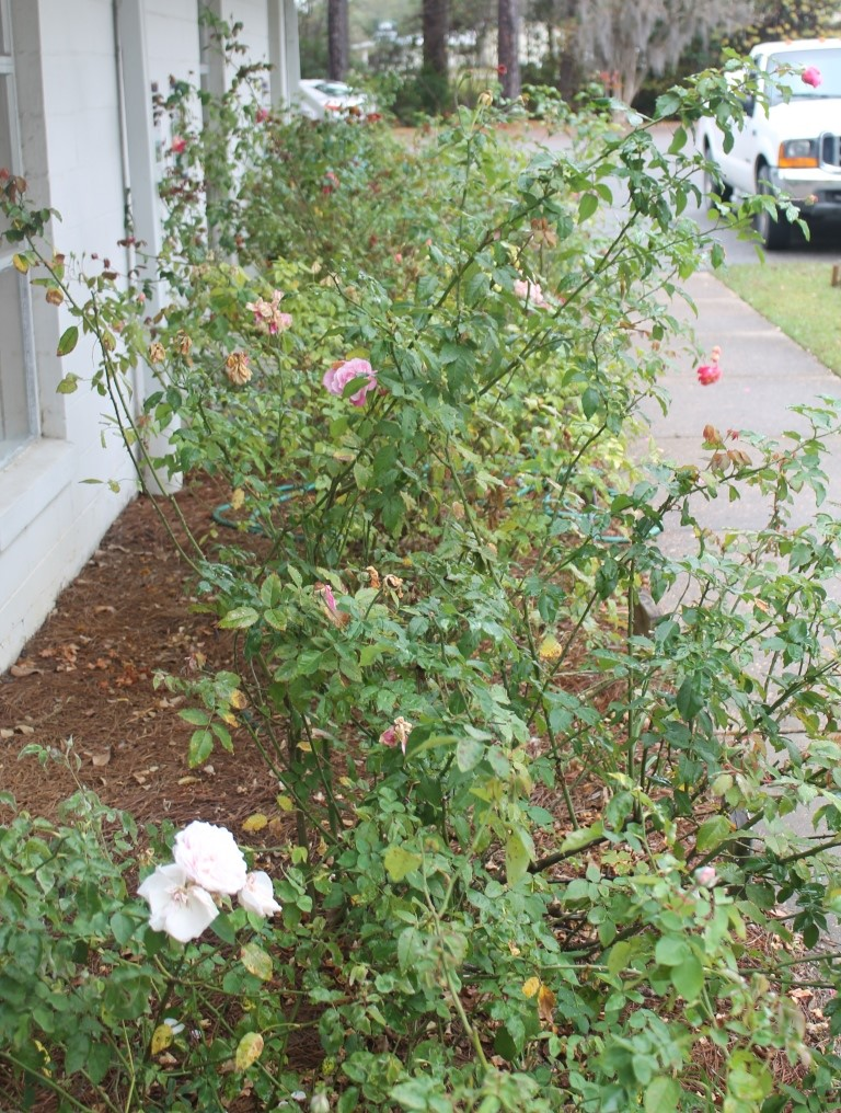 Roses will look ragged this time of year, but heavy pruning now will sacrifice spring bloom and may induce disease. Image Credit: Matthew Orwat