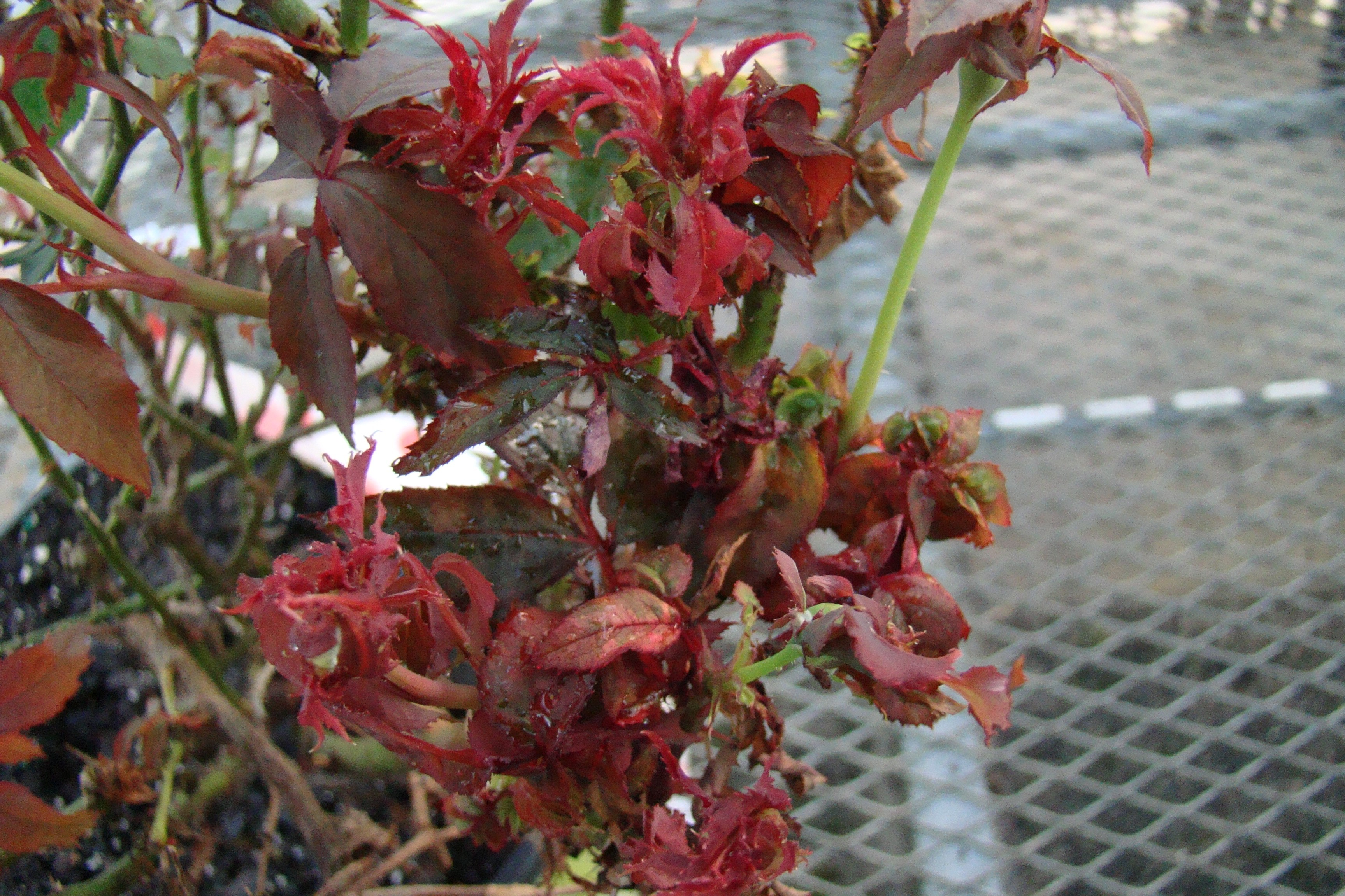 It is time to monitor for Rose Rosette Disease in Florida