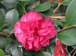 Camellia sasanqua 'Bonanza' flower
