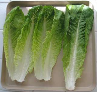 Romaine, or cos, lettuces are tall, upright and thick-leaved; their thick midribs and sweet, juicy texture have made them especially prized for salads.