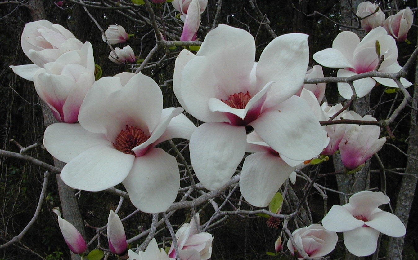 plant deciduous magnolias for their spectacular spring. Black Bedroom Furniture Sets. Home Design Ideas