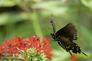 Butterfly feeding on red pentas