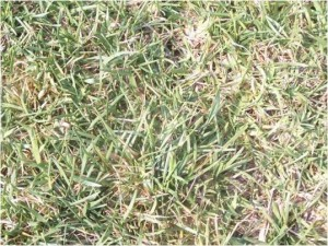 Close up of Dry Spot in Lawn