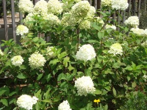 Hydrangea paniculata 'Limelight'2