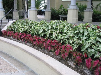 Caladiums Made For Shade, Offer Summer Color