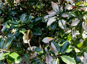 Anthracnose infection on southern magnolia leaves