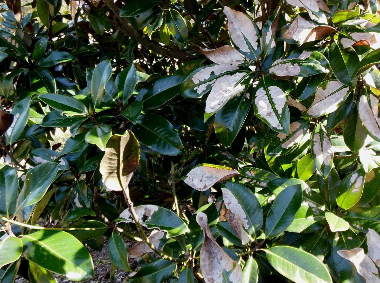 Whats Killing My Magnolia Leaves Gardening In The Panhandle