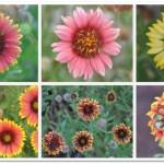 Gaillardia pulchella for Summer Color