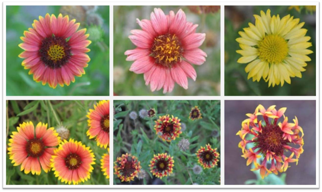 Gaillardia pulchella for Summer Color