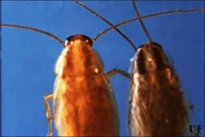 German cockroach (left), Asian cockroach (right). Credit: Dina L. Richman, University of Florida