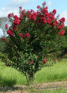 Crapemyrtle Cultivar: 'Red Rocket' Image Credit: Gary Knox
