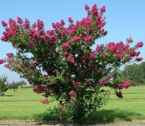 Crapemyrtle Cultivar: 'Tonto' Image Credit: Gary Knox