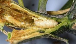 Squash Vine Borer larva. Image Credit Matthew Orwat