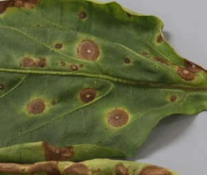 Cercospora in Pepper Image Credit Matthew Orwat