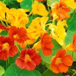 Brightly colored garden Nasturtium