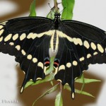Giant Swallowtails and Satsumas