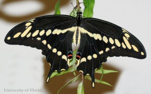 Adult giant swallowtail, with wings closed. Credit: Donald Hall, University of Florida