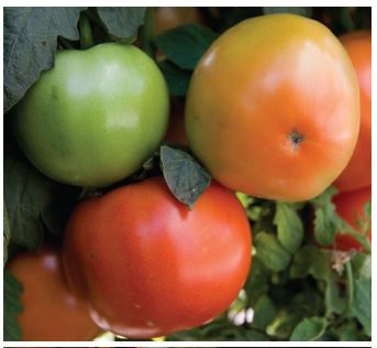 Keys to Growing Tomatoes in Florida