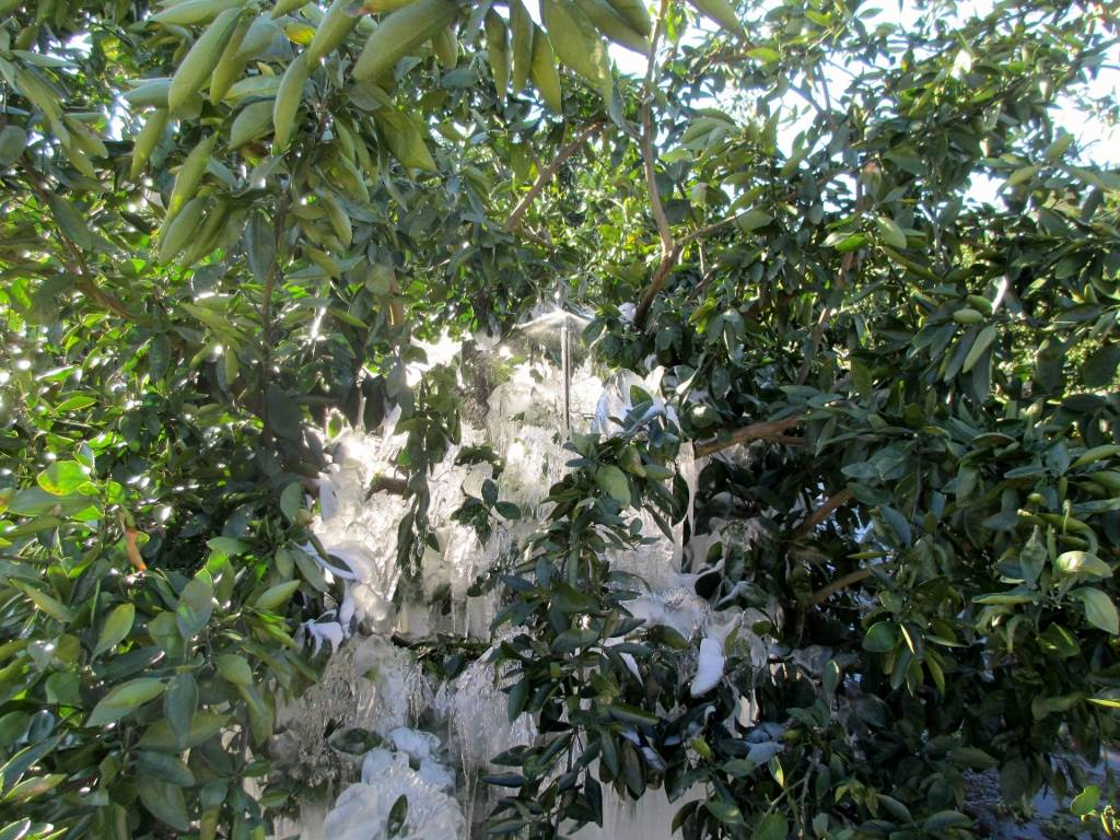 Citrus in freezing weather, under protective microsprinkler irrigation. Image Credit Doug Mayo UF IFAS