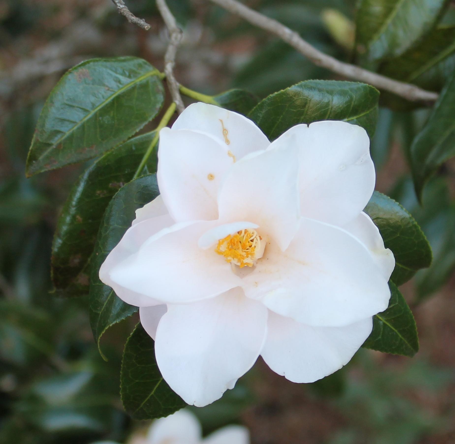 camellia japonica magnoliaeflora a worthwhile choice. Black Bedroom Furniture Sets. Home Design Ideas