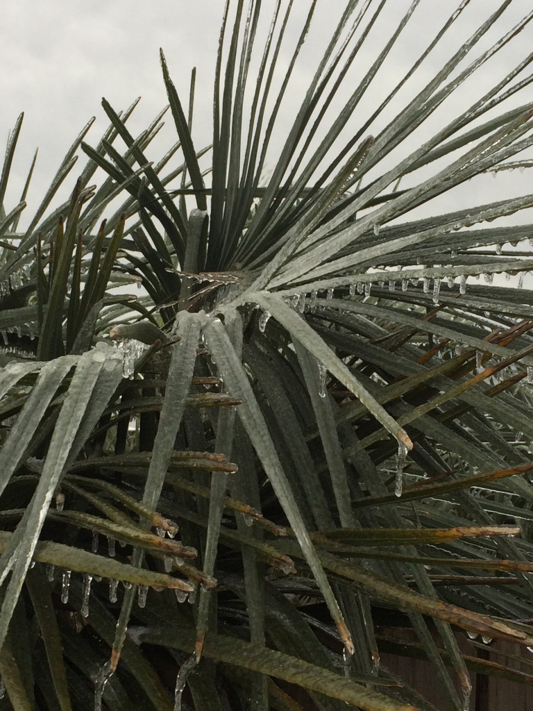 Icy pindo palm. Photo by Mary Derrick UF IFAS.