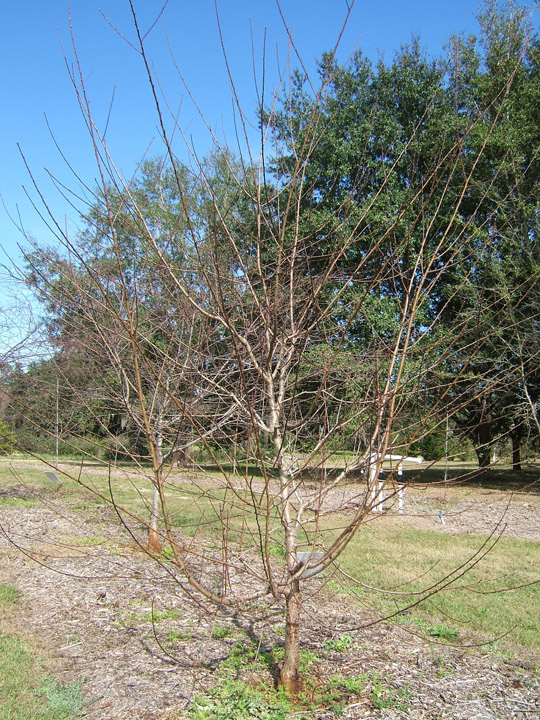 Dormant Peach Tree. Image Credit UF IFAS Environmental Horticulture Department