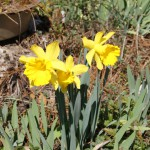 Daffodils: A Reminder of Spring