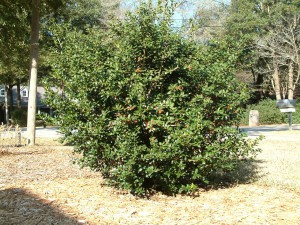 Burford holly is a beautiful holly that gives birds a place to hide.   Credit:  Beth Bolles, UF IFAS Extension Escambia County