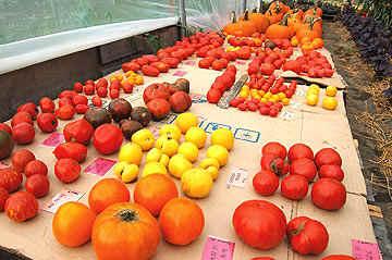 An assortment of Heirloom Tomatoes. Image Credit Dan Culbert