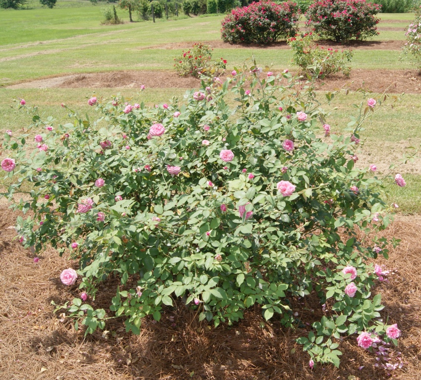 Mrs. B. R. Cant, a tea rose from 1901 has shown very good blackspot resistance at the UF IFAS rose trials in Quincy, FL. Image Credit Matthew Orwat