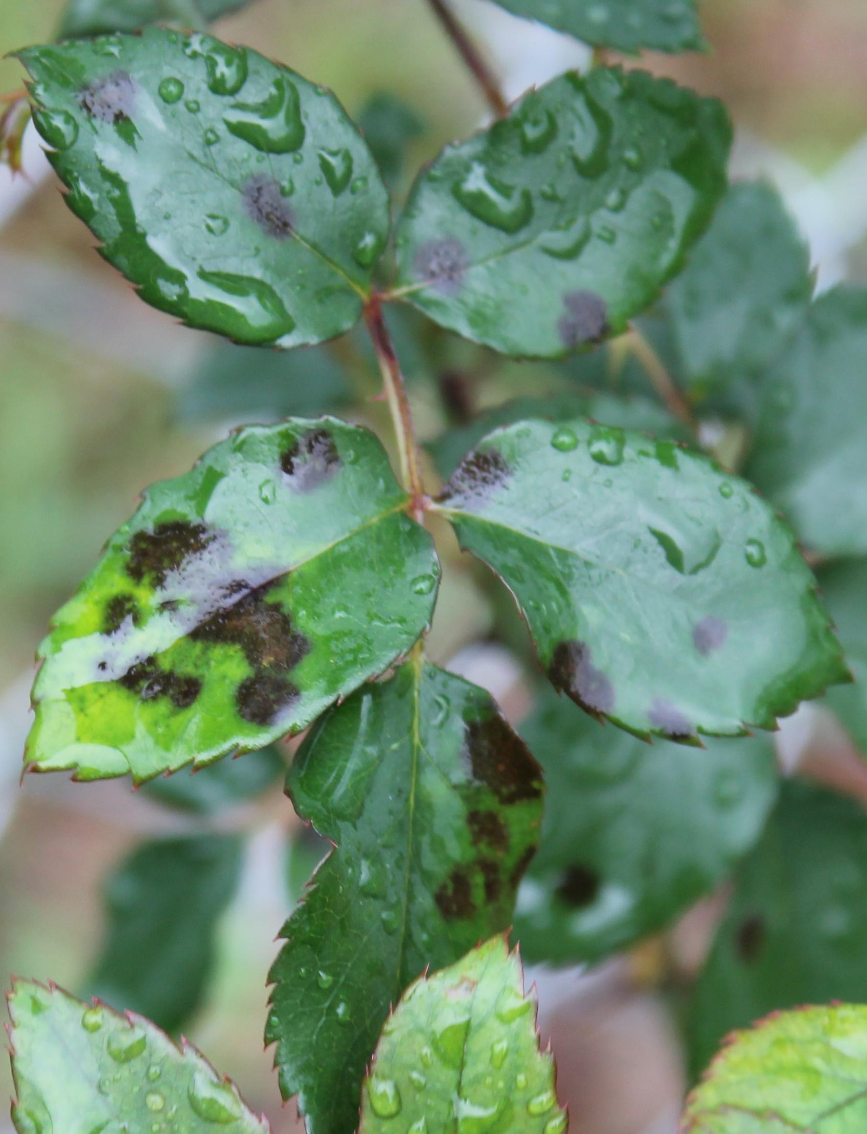 Wet Weather Brings Fungal Diseases