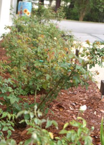 Properely pruned plants will produce vigroous new growth and ample new flowers. While these roses were pruned in February, it will be time to prune azaleas right after bloom.