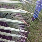 Recent Rains Exacerbate Pesky Palm Problems