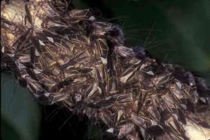 Under the webbing live hundreds of Psocids. Photo credit: UF/IFAS Jim Castner