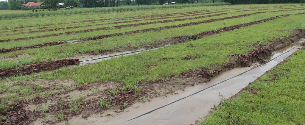 Washed out rows of young blueberries. Note healthy established plants in the background. No washout due to established root system. Wash-out in blueberry field, young planting. Image Credit Matthew Orwat