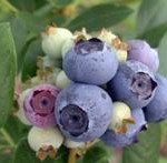 Growing Blueberries in the Edible Landscape