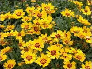 Coreopsis flowers. Photo courtesy UF/IFAS.