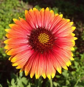 Native Gaillardia. Photo courtesy UF/IFAS.