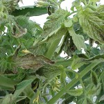 tomato spotted wilt on leaves Photo Credits: IFAS