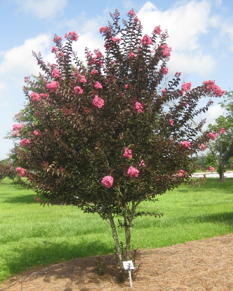 Delta Jazz™ was the first crapemyrtle with burgundy-bronze leaves all summer long. Photo by Gary Knox