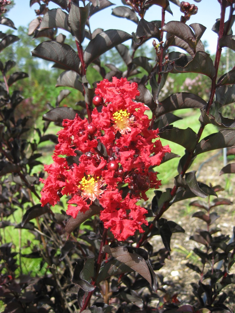 New Crapemyrtles With Burgundy Leaves From Spring Through Fall