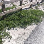 An Unwanted Beach Visitor: Beach Vitex