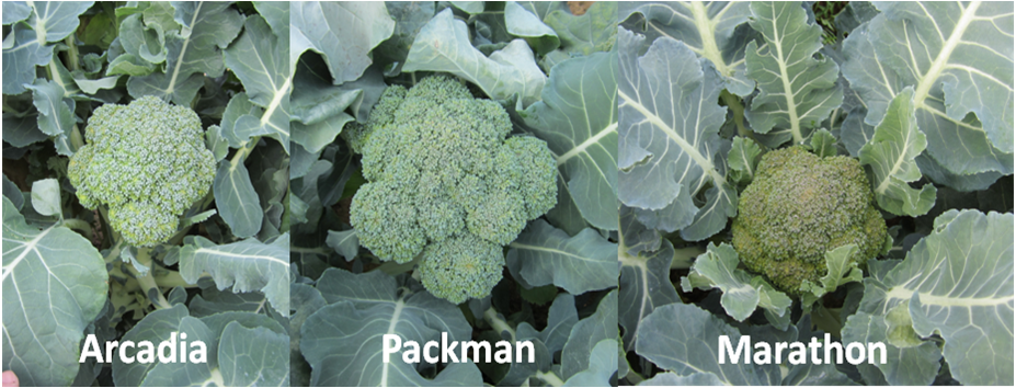 Broccoli Varieties. photo credit - Blake Thaxton